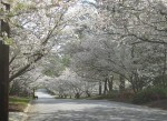 Macon Cherry Blossoms