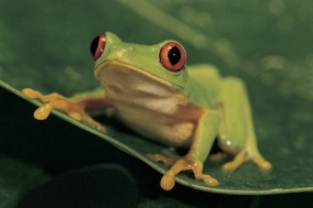 Red Eye Tree Frog --- Image by © Royalty-Free/Corbis